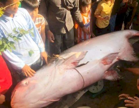 Người dân An Giang bắt được cá tra dầu nặng 230 kg